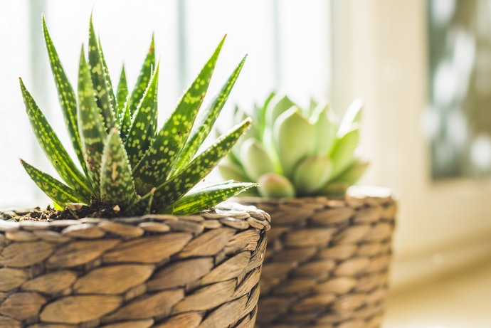 Your Living Room Will Look Great With Haworthias