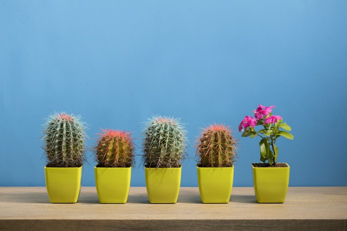 Cacti Are Best for Your Living Room Windowsills