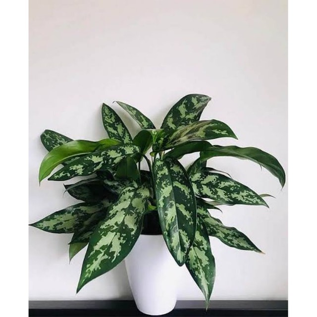Chinese Evergreen 1