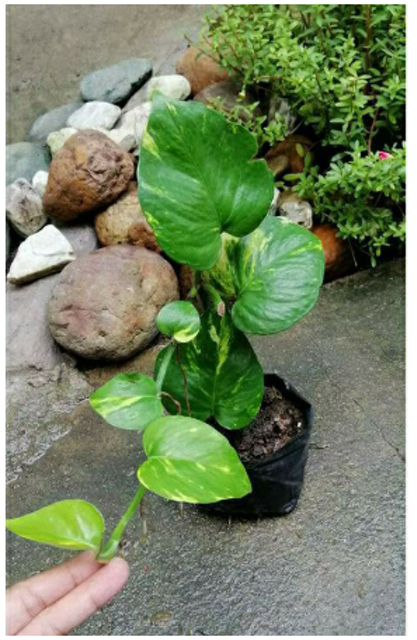 Golden Pothos 1