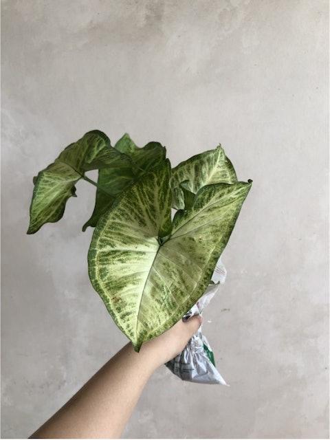 Arrowhead Plant 1
