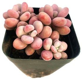 Top 10 Best Indoor Succulent Plants in the Philippines 2020 ( Haworthias, Lithops, Echeverias, and More) 2