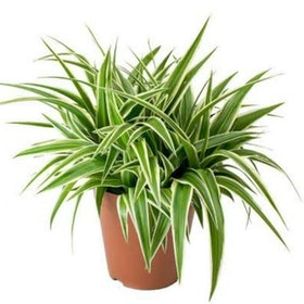 Top 10 Best Air-Purifying Indoor Plants in the Philippines 2021 ( Peace Lily, Chinese Evergreen, Snake Plant, and More ) 1