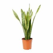 10 Best Large Indoor Plants in the Philippines 2021