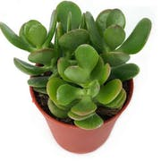 Top 10 Best Beginner-Friendly Succulents in the Philippines 2020