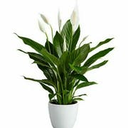 Top 10 Best Air-Purifying Indoor Plants in the Philippines 2021 ( Peace Lily, Chinese Evergreen, Snake Plant, and More )