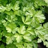 10 Best Indoor Herbs to Grow in the Philippines 2021 (Parsley, Chives, and More)